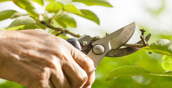 hand holding shears pruning small green leafy branches