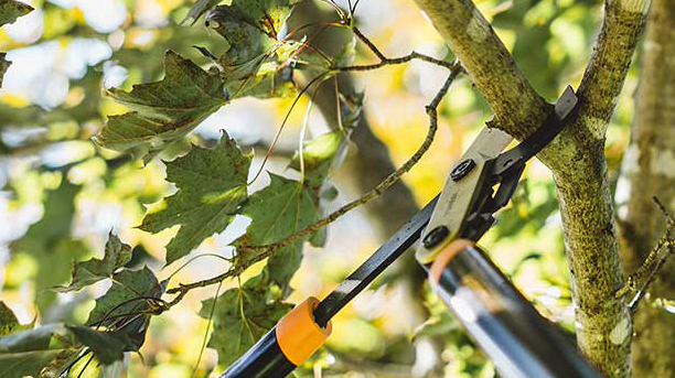 tree branch being pruned with tree shears